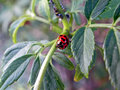 Ladybird eating aphids a red Stock Photography