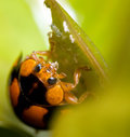 Ladybird feasting on aphid Royalty Free Stock Photo