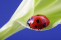 Ladybird on flower red green leaf Royalty Free Stock Photography