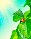 Ladybird on green leaf and drop Royalty Free Stock Photo