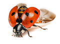 Ladybird or ladybug coccinella septempunctata about to take off Royalty Free Stock Photo
