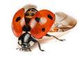 Ladybird or Ladybug Royalty Free Stock Photo