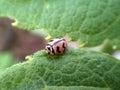 Ladybird Ladybug insect Closeup on a leaf Royalty Free Stock Photo