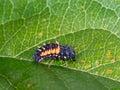 Ladybird, ladybug larva. Harmonia axyridis. Royalty Free Stock Photo