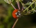 Ladybird Ladybug Royalty Free Stock Photo