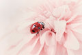 Ladybird or ladybug in water drops on a pink flower natural vintage background with pastel colors Stock Photos