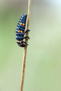 Ladybird larva Royalty Free Stock Photo