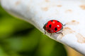 Ladybird a little or coccinellid takes a stroll on a white flower petal Royalty Free Stock Images