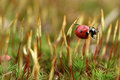 Ladybird on moss Royalty Free Stock Image