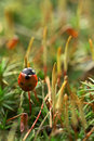 Ladybird on moss Royalty Free Stock Images
