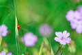 Ladybird in the nature of flowers in spring Royalty Free Stock Photo
