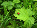 Ladybird over green leaf Royalty Free Stock Photos