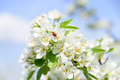 Ladybird on pear flower collecting nectar. Royalty Free Stock Photo