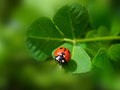 Ladybird red insect cocinella septempunctata on a leaf Royalty Free Stock Images