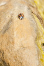 Ladybird on a rock light brownish Royalty Free Stock Photo