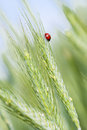 Ladybird on rye ears young green and a one of the Royalty Free Stock Image