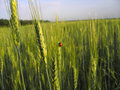 Ladybird on the wheat Stock Image