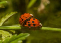 Ladybirds ladybugs mating reproducing uk Royalty Free Stock Photography