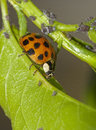 Ladybug and aphids attacking on the endangered plant Royalty Free Stock Images