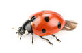 Ladybug beautiful on white background Stock Image