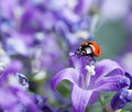 Ladybug and Bellflowers Royalty Free Stock Photo