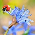 Ladybug on blue flower on natural background in garden Stock Images