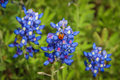 Ladybug on the bluebonnet texas with a attached Stock Photos