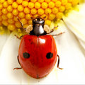 Ladybug on camomile Royalty Free Stock Image