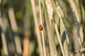 Ladybug climbing up a grass stalk red spotted or ladybird outdoors in the sunshine Stock Image
