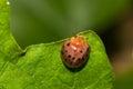Ladybug close up of eating green leaf Royalty Free Stock Photo