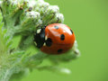 Ladybug crawling around for food Royalty Free Stock Photo