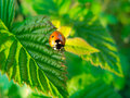 Ladybug crawling on a green leaf Stock Image