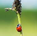 Ladybug the creeps on a stalk to a plant louse Royalty Free Stock Image