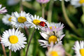 Ladybug on daisy flower the ladybird a in the spring Stock Images