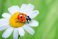Ladybug on daisy Royalty Free Stock Photo