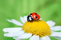 Ladybug on daisy in the grass Stock Images