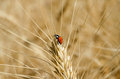 Ladybug on ear of wheat in the field close-up photo Royalty Free Stock Photo