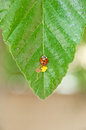 Ladybug and eggs Stock Photos