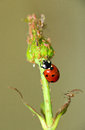 Ladybug enemy of the aphid ladybird attacking aphids on endagered plant Stock Image
