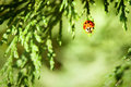 Ladybug on evergreen branch red an with green background Royalty Free Stock Photography