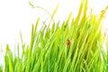 Ladybug on fresh green leaf isolated. Spring background Royalty Free Stock Photo