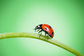 Ladybug on grass Royalty Free Stock Photography