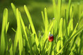 Ladybug in Grass Royalty Free Stock Photo