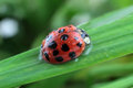 Ladybug on grass macro photography Royalty Free Stock Photography