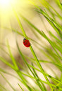 Ladybug on green grass Stock Photo
