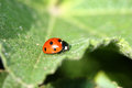 Ladybug on green leaf close up Royalty Free Stock Photography