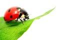 Ladybug on green leaf Isolated On White Royalty Free Stock Photo