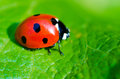 Ladybug on a green leaf macro Stock Photography