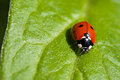 Ladybug on a green leave Royalty Free Stock Photos