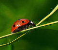 Ladybug on green plant climbing a or twig Stock Photos